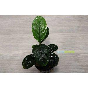 Anubias Coffeifolia
