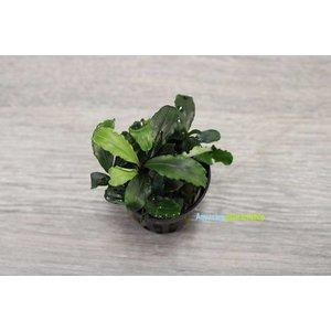 Bucephalandra Theia Green