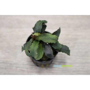 Bucephalandra Theia Red
