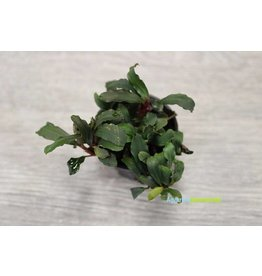 Bucephalandra Lamandau 'Mini Red'