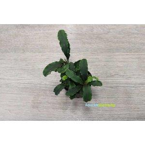 Bucephalandra Sintang
