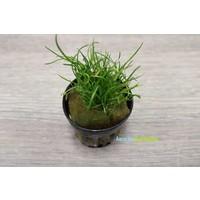 Lilaeopsis Mauritius