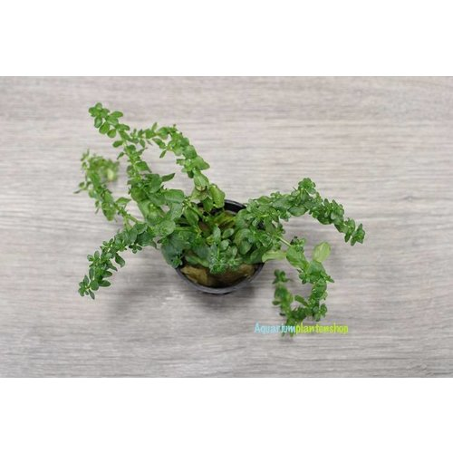 Rotala Species Green