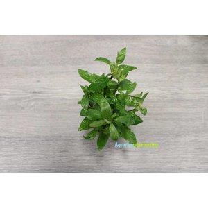 Hygrophila Rosae Australis