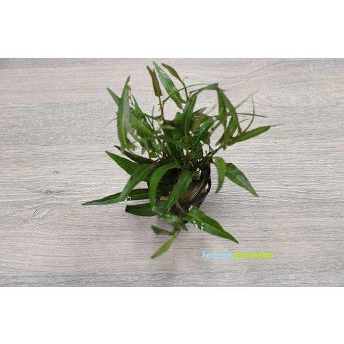 Persicaria Praetermissa
