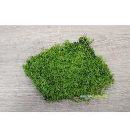Micranthemum Monte Carlo op mat 10 x 15 cm