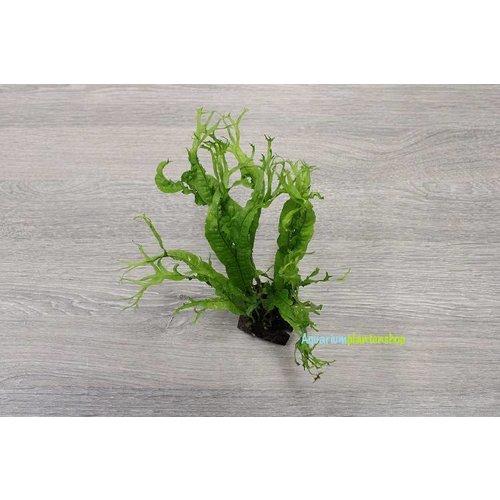 Cocosplaatje met Microsorum Specie
