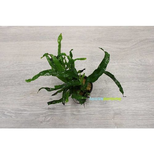 Microsorum Pteropus Petit