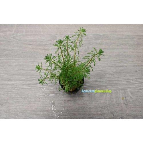 Myriophyllum Brasiliensis 5x
