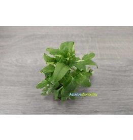 Gymnocoronis Variegatus 5x