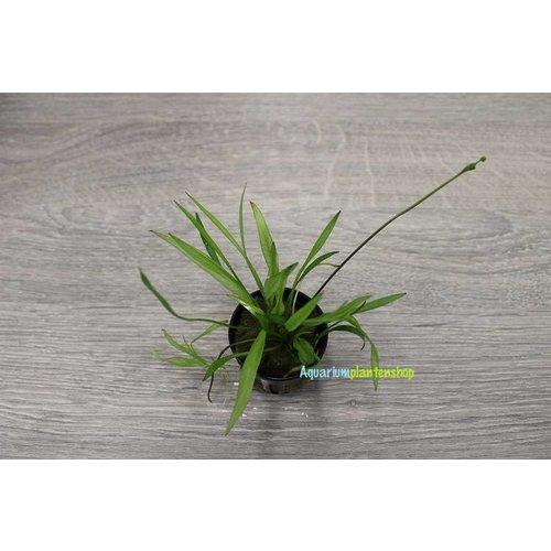 Echinodorus Xinguensis