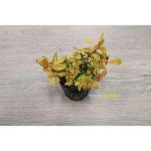 Nesaea Pedicellata 'Golden'