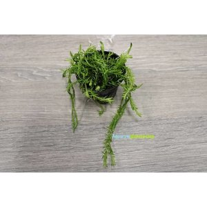 Mayaca Fluviatilis