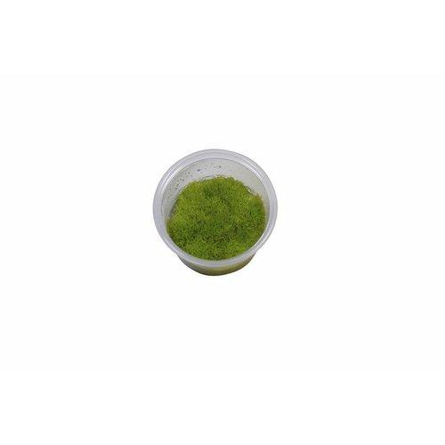 Easy Grow - Utricularia Graminifolia