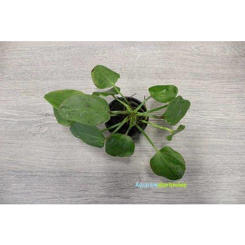 Echinodorus Ozelot Green
