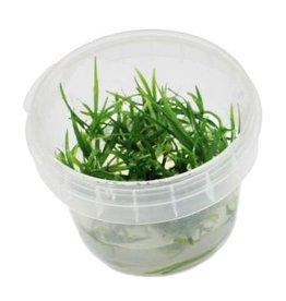 Helanthium Tenellum 'Green' - In Vitro