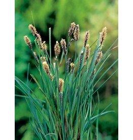 Carex Panacea