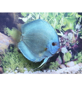 Discus Blue Diamond 6.5 cm - Stendker