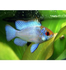 Microgeophagus Ramirezi Electric Blue