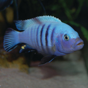 Pseudotropheus sp. Kingsizei