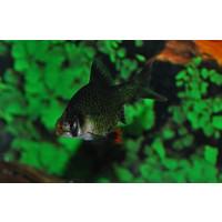 Sumatraan Groen