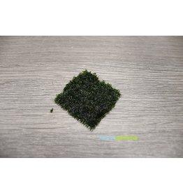 Tropica Riccardia Chamedryfolia Pad