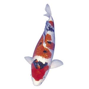Koi Tosai Sanke 12-15 cm