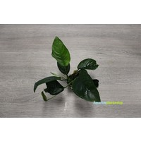 Tropica Anubias Barteri Caladiifolia
