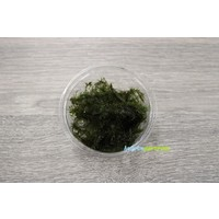 Fissidens Fontanus - In Cup