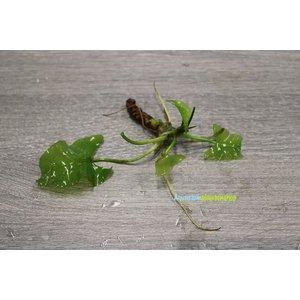 Nuphar japonica 'Spatterdock'