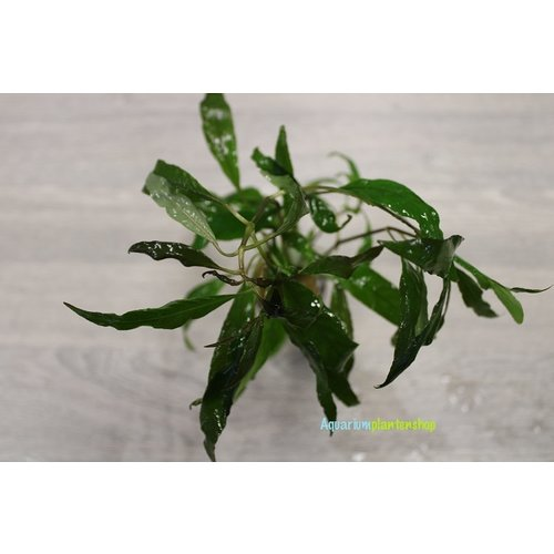 Hygrophila Guanensis