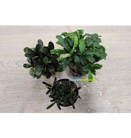 Bucephalandra Aquariumplanten Mix