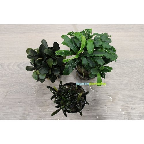 Bucephalandra Aquariumplanten Mix