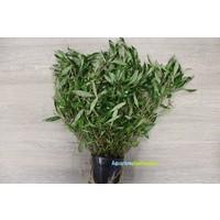 Hygrophila Corymbosa 'Angustifolia' XL