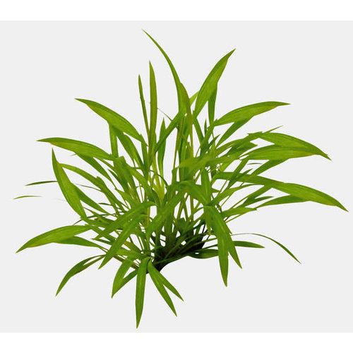 Easy Grow - Helanthium Tenellum