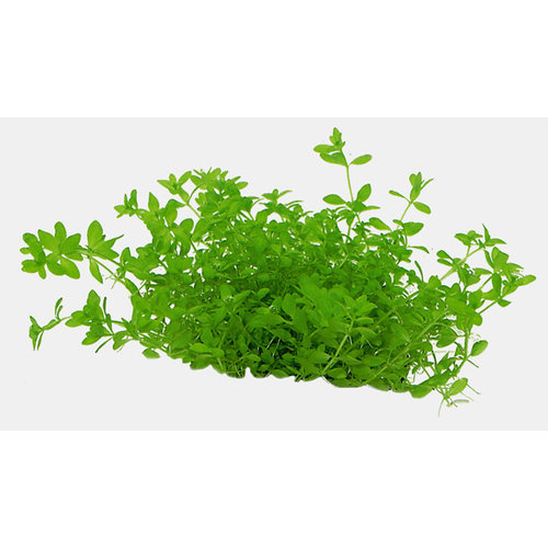 Easy Grow - Micranthemum Micranthemoides