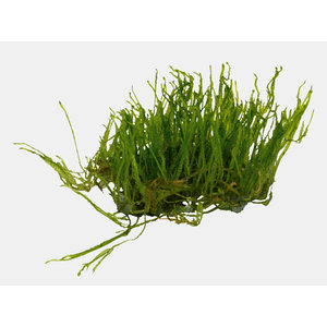 Easy Grow - Vesicularia Reticulata