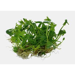 Easy Grow - Ranuculus Inudatus