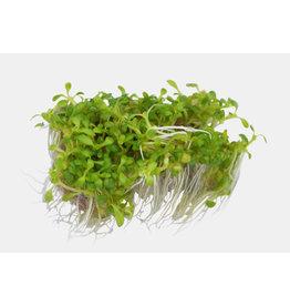 Easy Grow - Elatine Hydropiper
