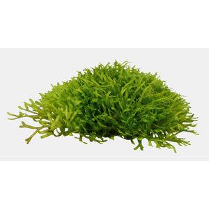 Easy Grow - Riccia Fluitans