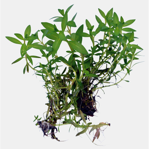 Easy Grow - Ludwigia Arcuata