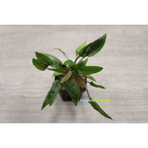 Cryptocoryne Indonesii