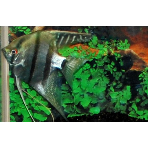 Maanvis Blauw