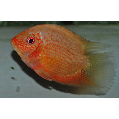 Heros Severum Red Spotted