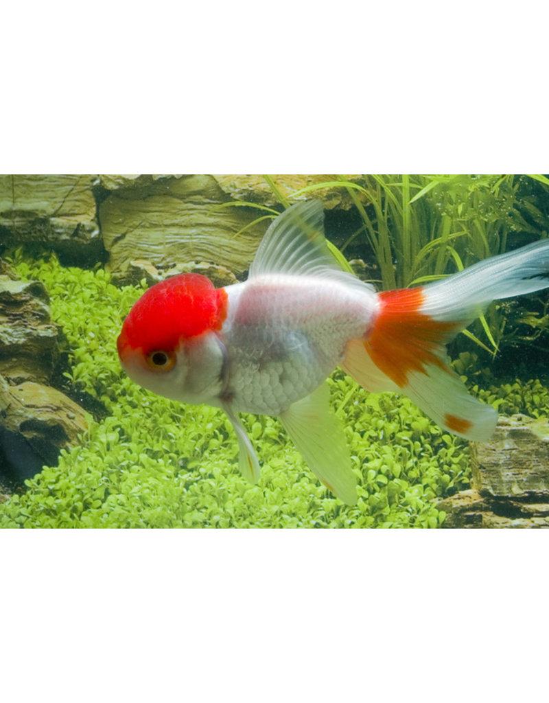 Leeuwenkop Rood-Wit