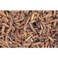 Buffalowormen Bakje