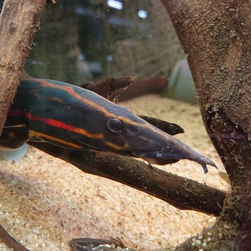Mastacembelus Erythrotaenia 'Vuuraal'