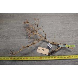 Aquascaping Twig 12