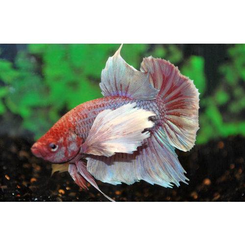 Betta's voor uw aquarium.