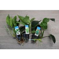 Anubias Aquariumplanten Trio